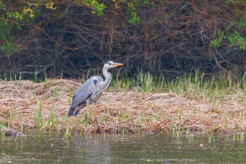 Grey Heron Ardea de chasse Grey Heron Waters Edge cinerea images libres de droits