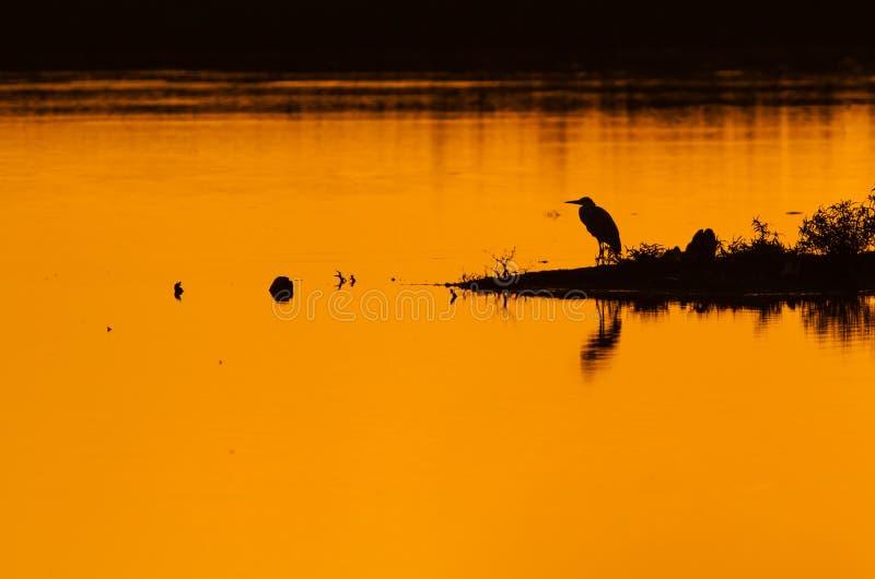 Grey Heron au coucher du soleil photo stock
