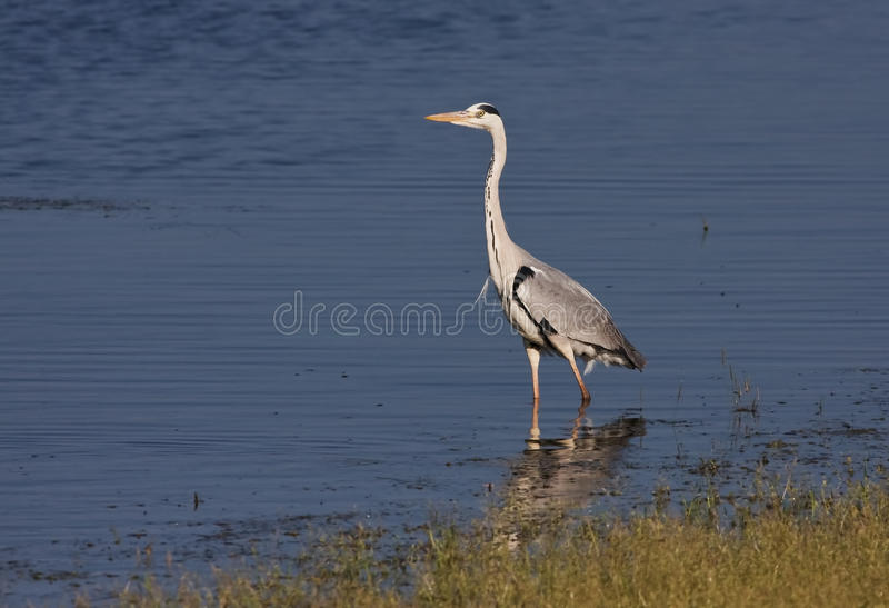Grey Heron au lac images stock