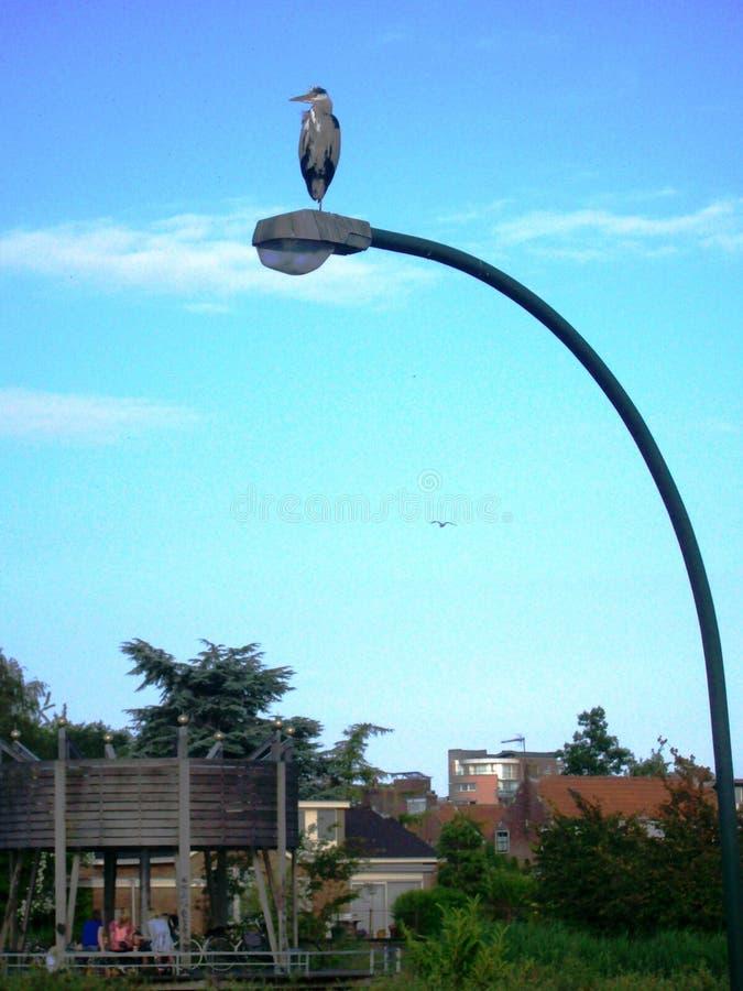 Grey Heron auf der Uhr stockfoto