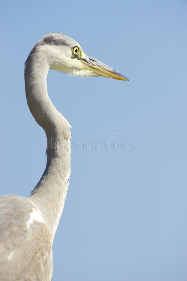 Download Grey Heron bird stock image. Image of safari, heron, nature - 10397487