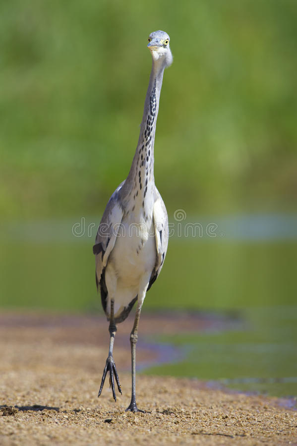 Download Grey Heron Bird Stock Images - Image: 10397494