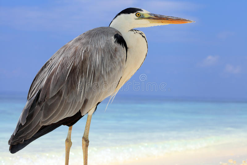 Grey heron bird stock photos