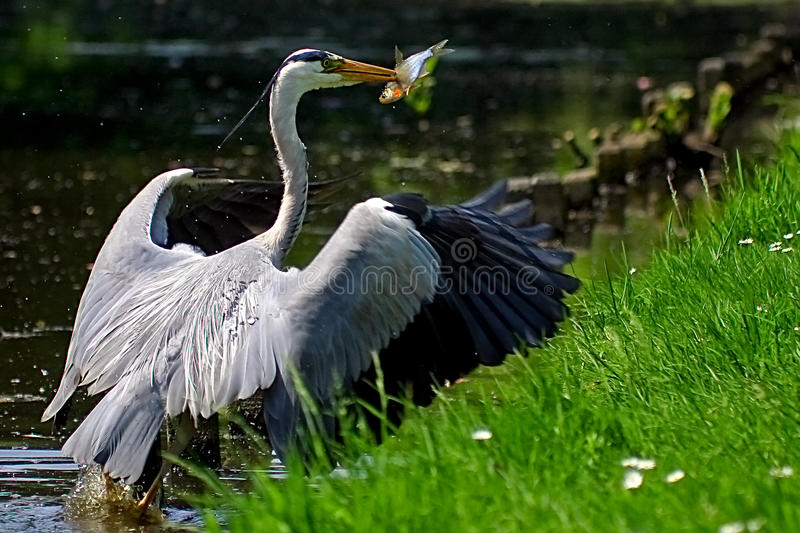 Download Grey Heron Bird Catching A Fish Stock Photo - Image of outdoor, eating: 10440408