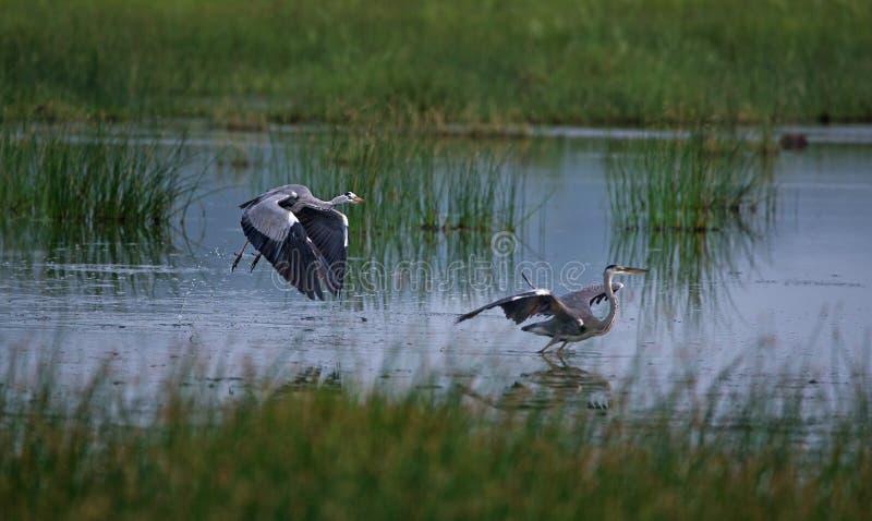 Grey Heron Birds Fight photos libres de droits