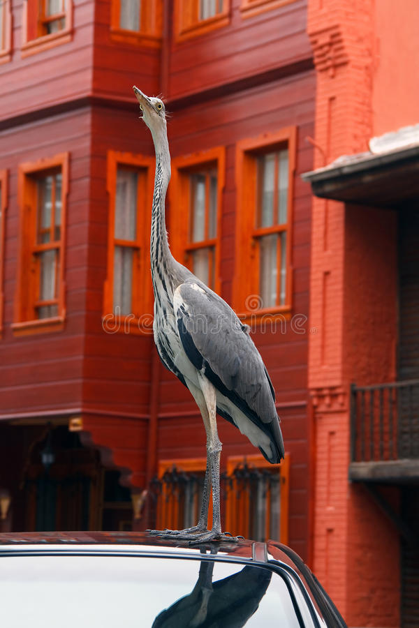 Download Grey Heron On The Black Car Stock Photo - Image of blue, wall: 15933862