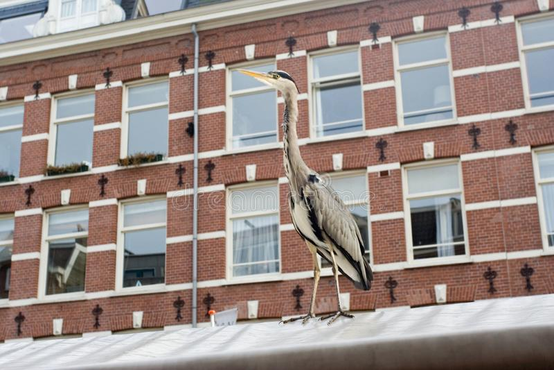 Grey Heron, Blauwe Reiger, Ardea cinerea. Grey Heron standing at the Albert Cuyp Amsterdam ; Blauwe Reiger staand op de Albert Cuyp in Amsterdam royalty free stock photo