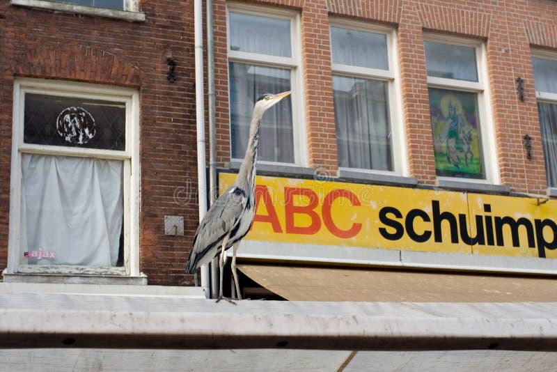 Grey Heron, Blauwe Reiger, Ardea cinerea. Grey Heron standing at the Albert Cuyp Amsterdam ; Blauwe Reiger staand op de Albert Cuyp in Amsterdam stock images