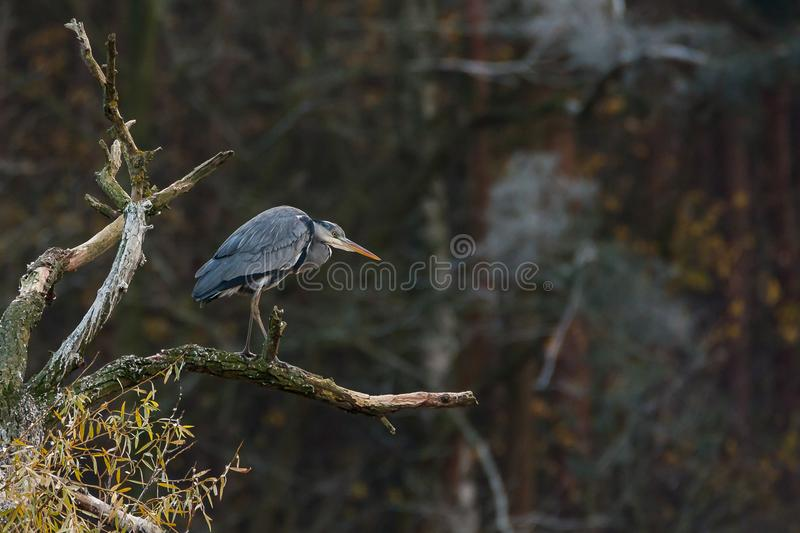 Grey heron on the bough royalty free stock image