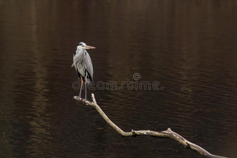 Grey heron on the bough royalty free stock photography