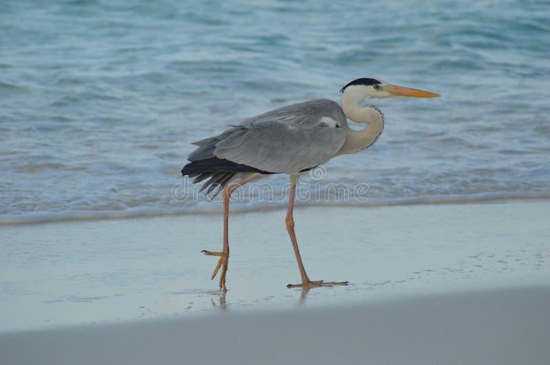 Grey Heron che sta sulla spiaggia immagini stock libere da diritti