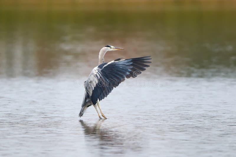 Grey Heron (cinerea Ardea) royalty-vrije stock fotografie