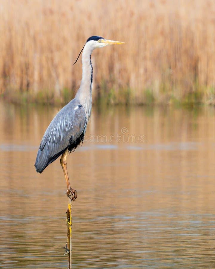 Grey Heron - cinerea d'Ardea été perché sur un courrier étroit images libres de droits