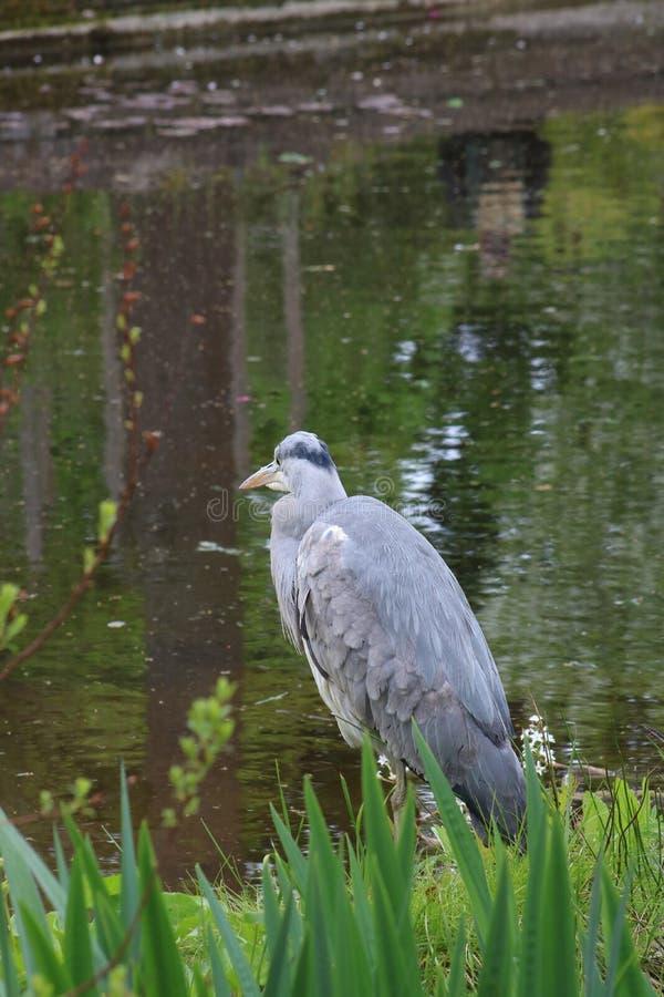 Grey Heron cinerea som ardea står vid dammet arkivbild