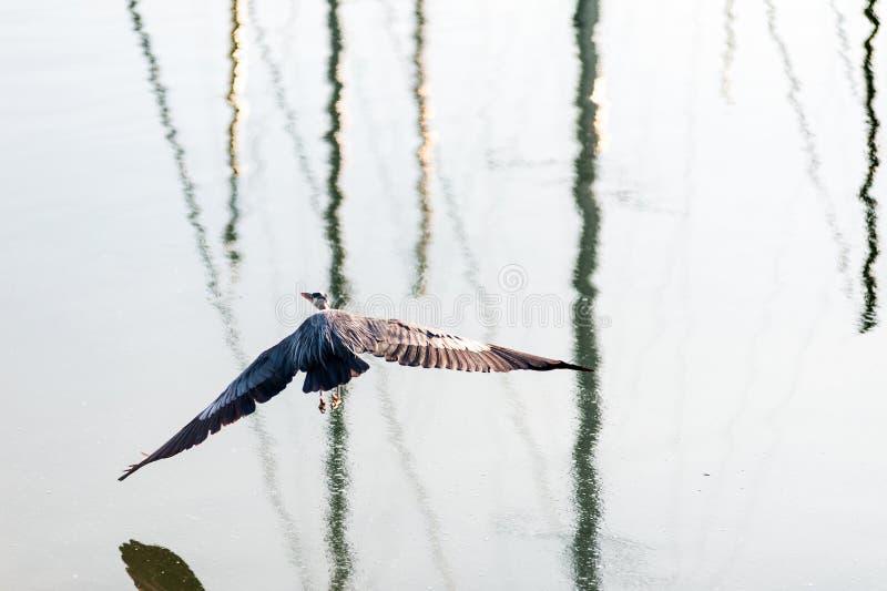Grey Heron close view on flight royalty free stock photo