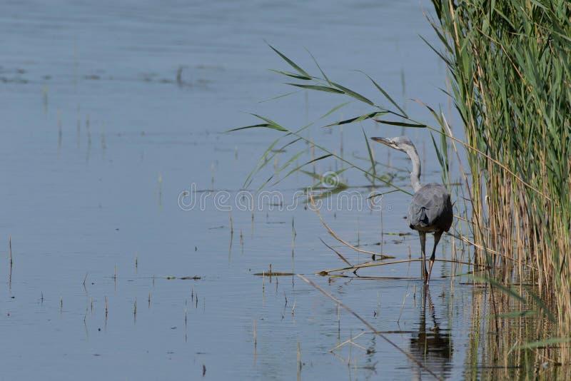Grey Heron dat bij de rand van het riet waadt royalty-vrije stock foto