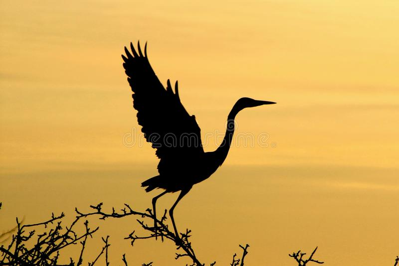 Grey Heron at dawn. A grey heron silhouette at dawn royalty free stock image