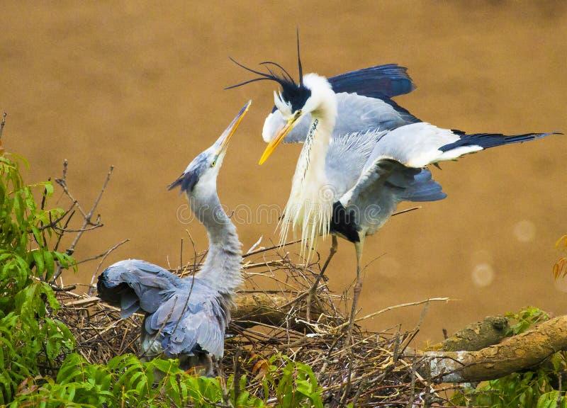 Grey Heron de acoplamiento imagen de archivo libre de regalías