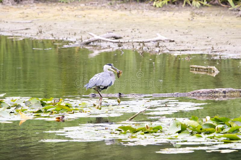 Heron cathes fish royalty free stock photography