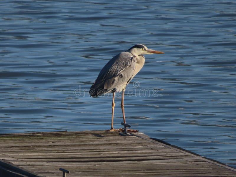 Grey Heron en Knysna imágenes de archivo libres de regalías