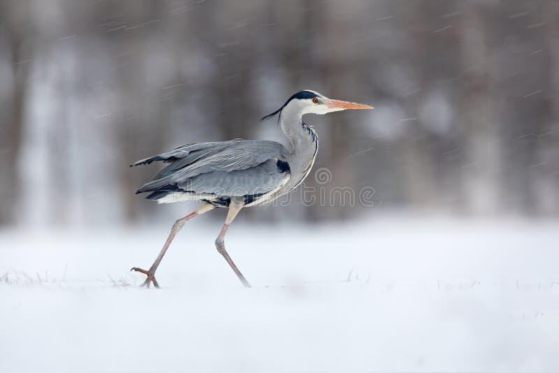 Grey Heron en vent blanc de neige pendant l'hiver froid Scène de faune de nature de la Pologne Tempête de neige avec l'oiseau Hér photo libre de droits