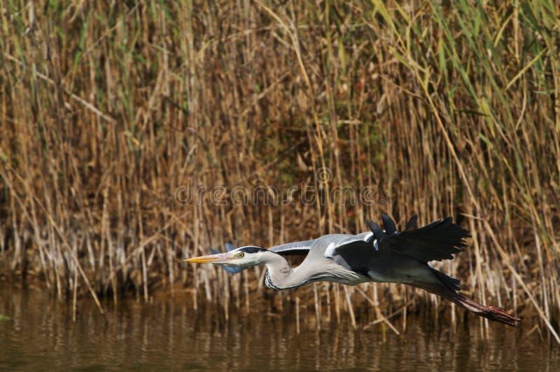 Grey Heron en vol photos stock