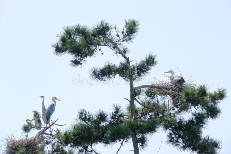 Grey Heron et pin images stock