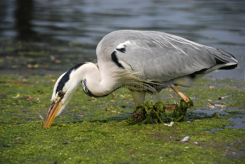 Grey Heron Fishing Stock Photo