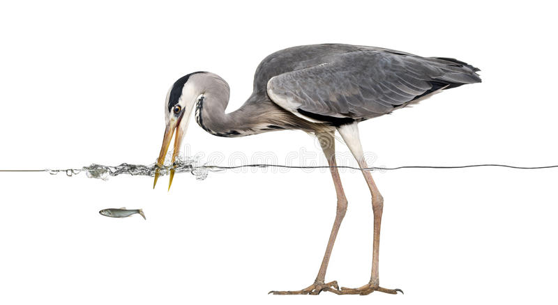 Grey Heron fishing at the surface of the water,. Side view of a Grey Heron fishing at the surface of the water, Ardea cinerea, isolated on white royalty free stock photography