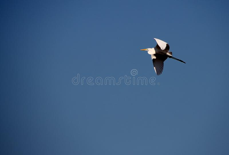 Grey heron in flight on bright blue sky royalty free stock photos