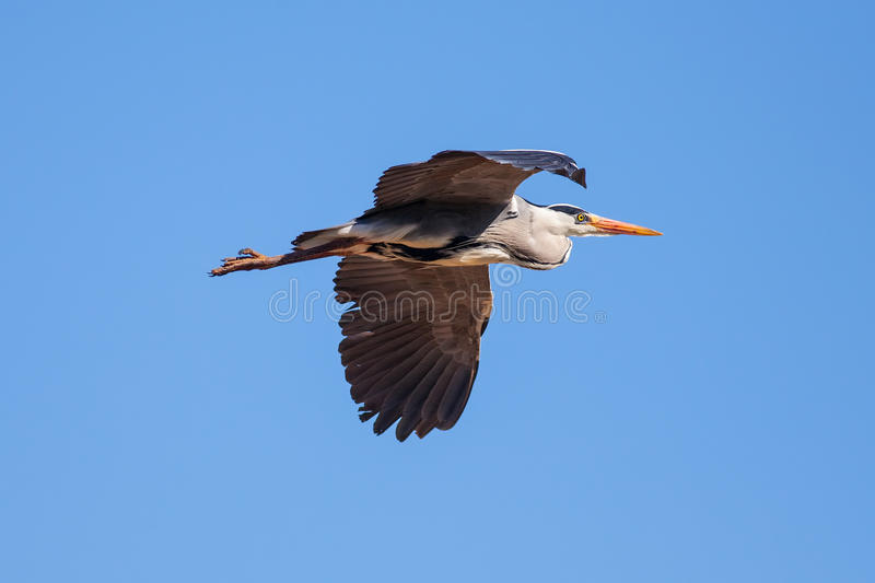 Grey heron in flight. Nature image with blue sky background and stock image