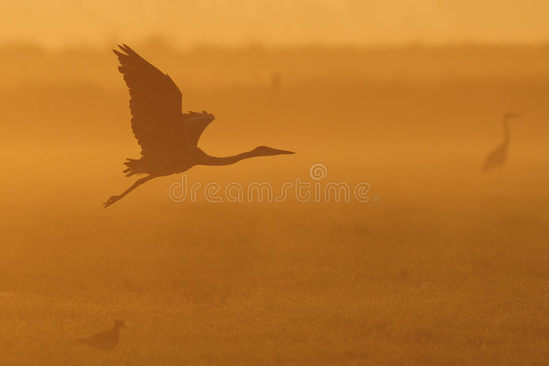 Grey heron flight up in twilight. Grey heron flight up in the twilight, summer, ardea cinerea stock photography