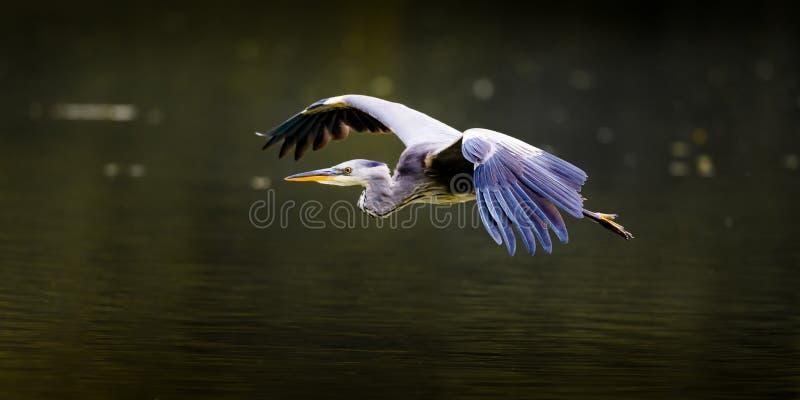 Grey Heron In Flight (vue de côté) photo libre de droits