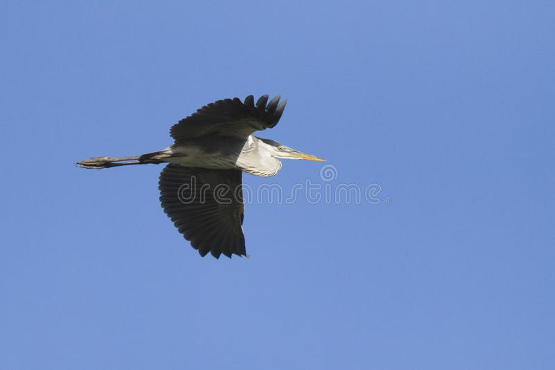 Grey heron flying in blue sky royalty free stock photos