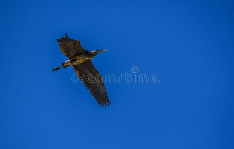 Grey heron flying high in beautiful scenic blue sky, spreading wings stock images