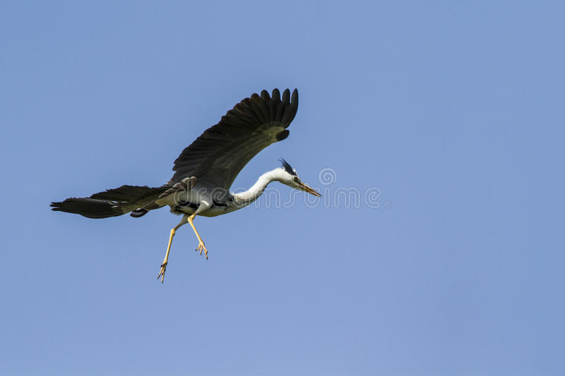 Grey heron flying isolated in blue sky, Sri Lanka stock images