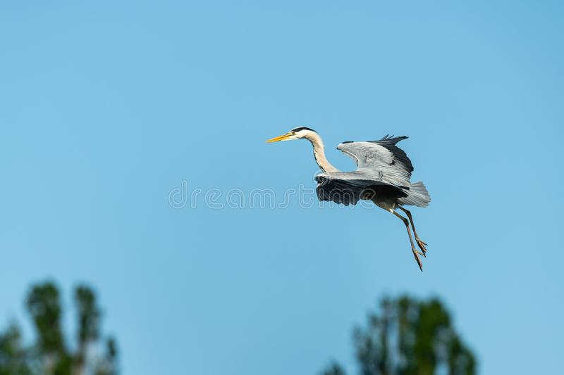 A Grey Heron flying over trees, blue sky royalty free stock photo