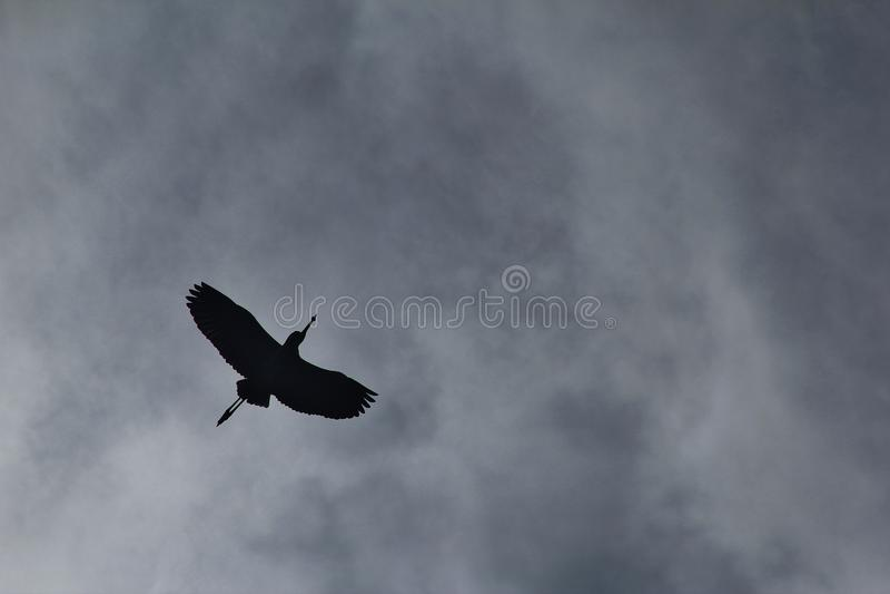 Grey Heron - fondo de la fauna de África - en el desconocido imagen de archivo libre de regalías