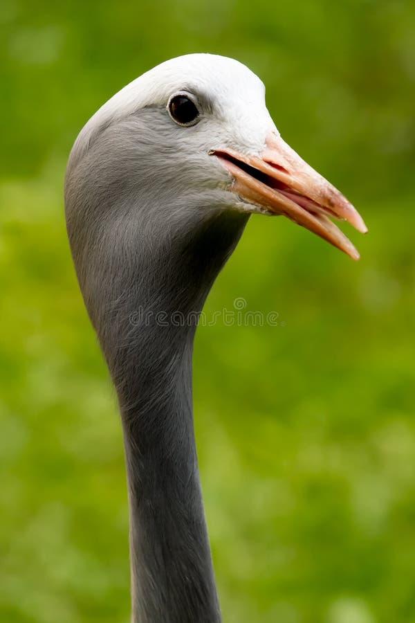 Grey heron head closeup stock images
