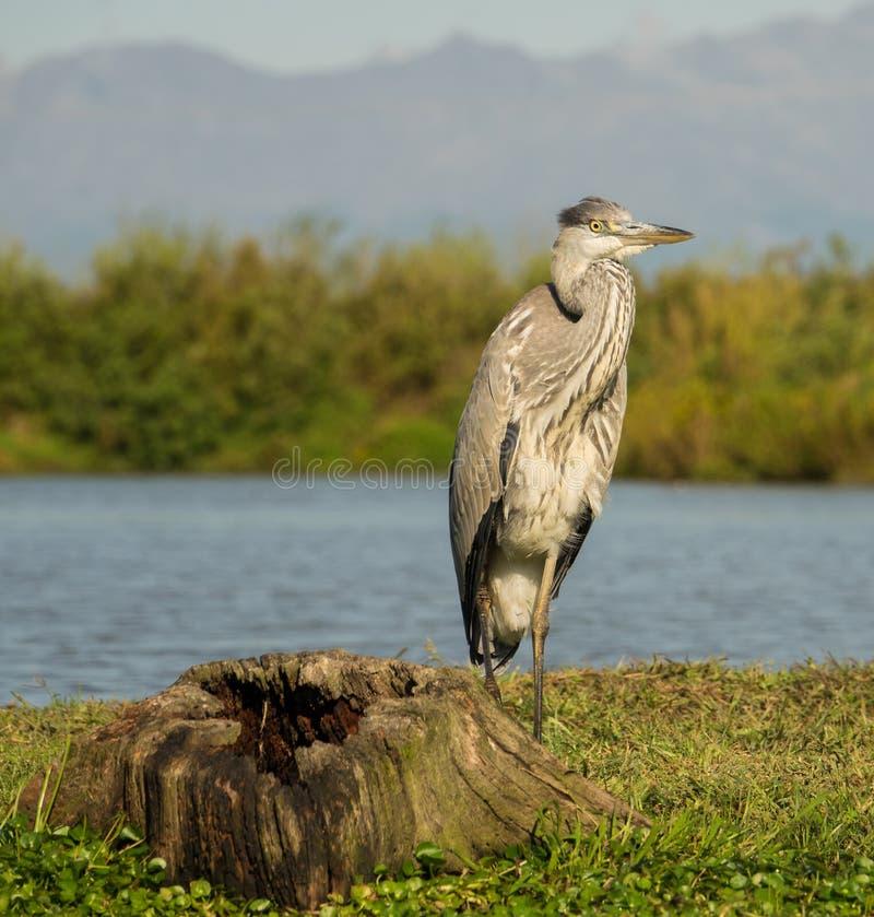 Grey Heron-het stellen in een moerashabitat stock afbeelding