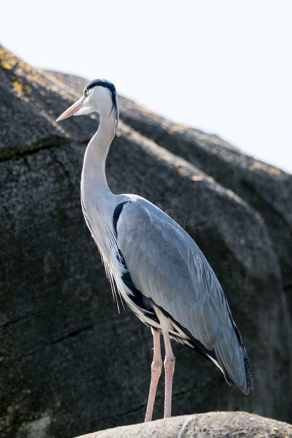 Grey Heron-het stellen op een steen royalty-vrije stock foto's