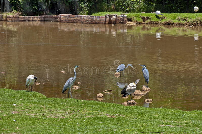Download Grey Heron And Hornbill In Pond Stock Image - Image: 31916043