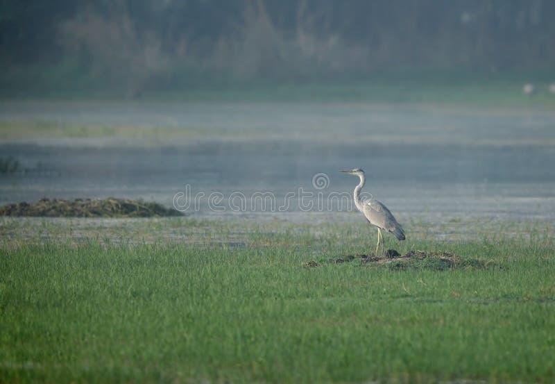 Grey Heron i sultanpurfågelfristad royaltyfri fotografi