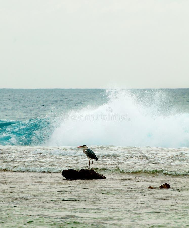 Grey Heron im Ozean stockfotografie