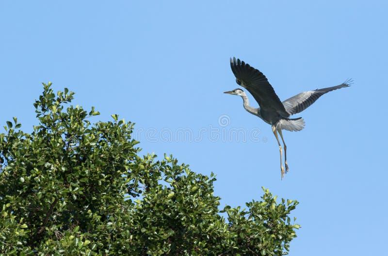 Grey heron landing. On a tree top stock photo