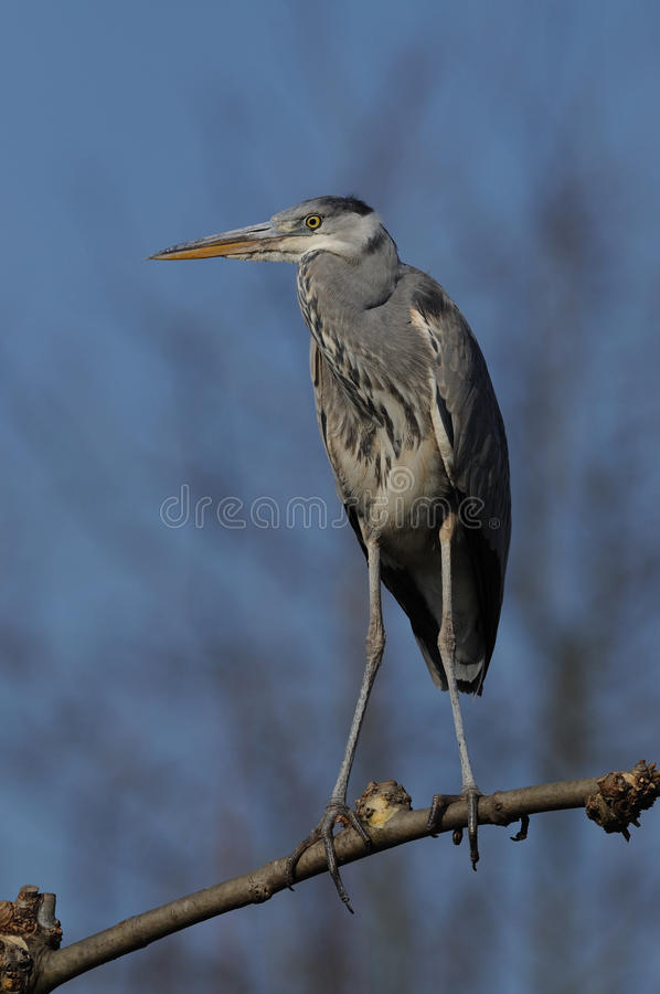Grey Heron on a Limb stock photography