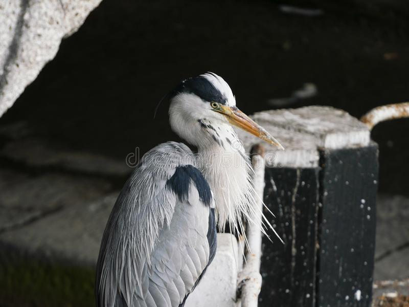 Grey Heron by a lock gate on the Grand Canal in Dublin, Ireland. Standing beneath an old stone bridge stock image