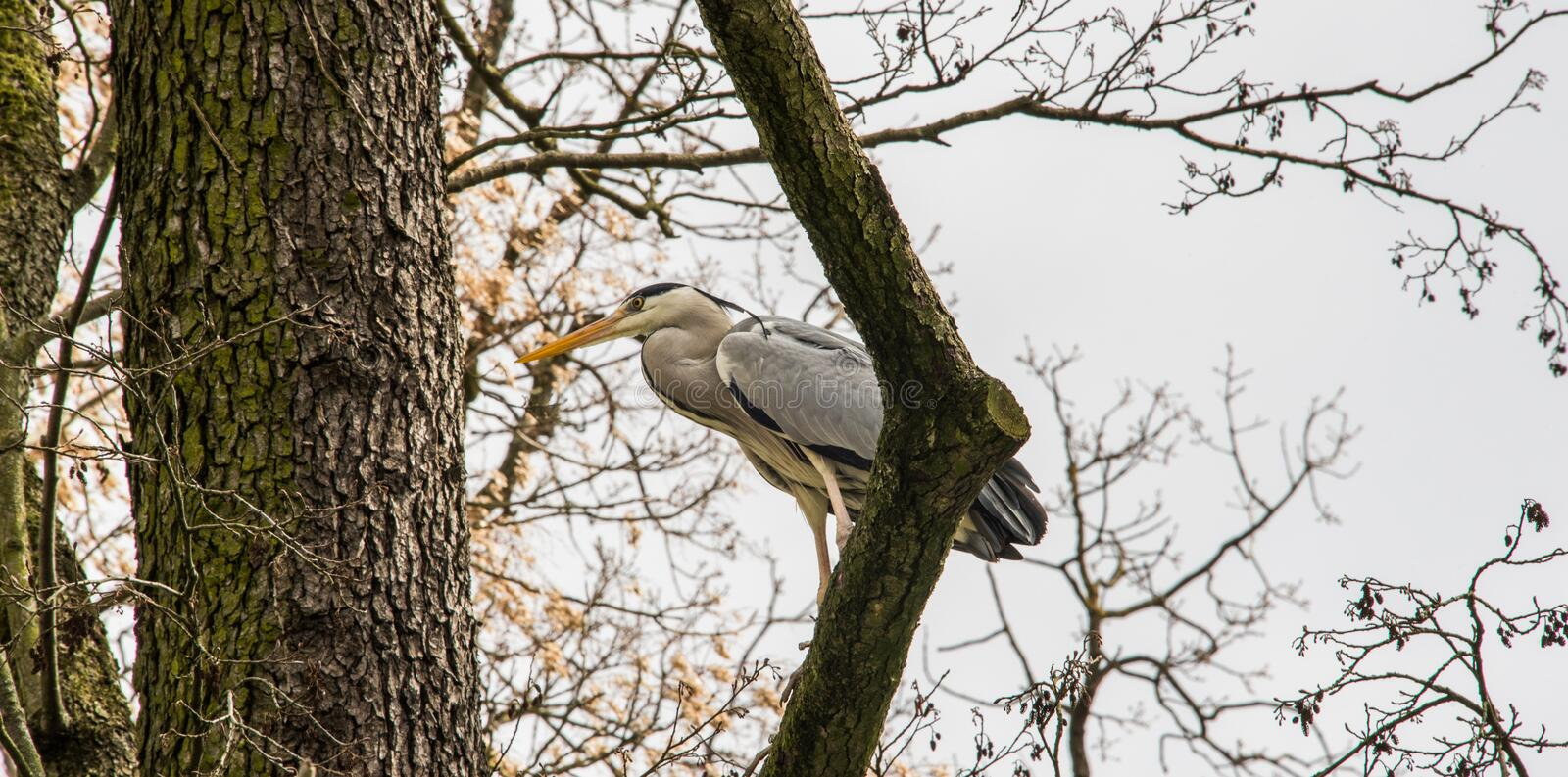 Grey heron on a tree branch. Grey heron is a long-legged predatory wading bird of the heron family, Ardeidae, native throughout temperate Europe and Asia and stock images