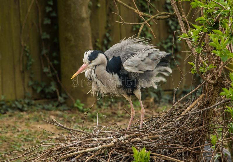 Grey heron  shivering on a nest royalty free stock photos