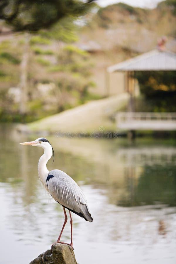 Grey Heron no jardim de Korakuen em Okayama imagens de stock